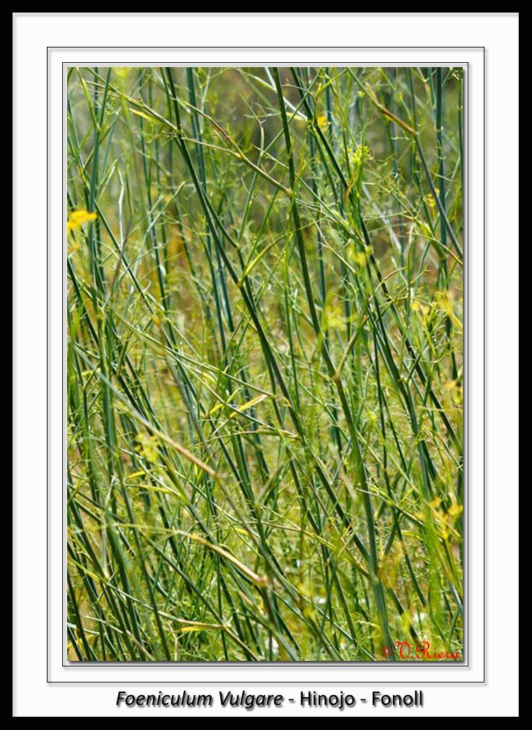 Apiaceae-Foeniculum_vulgare-Hinojo-Fonoll