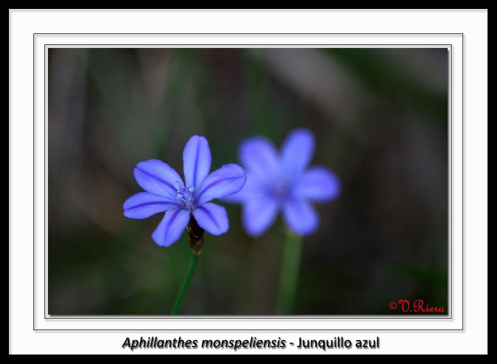 Asparagaceae-Aphyllanthes_monspeliensis-Junquillo_azul
