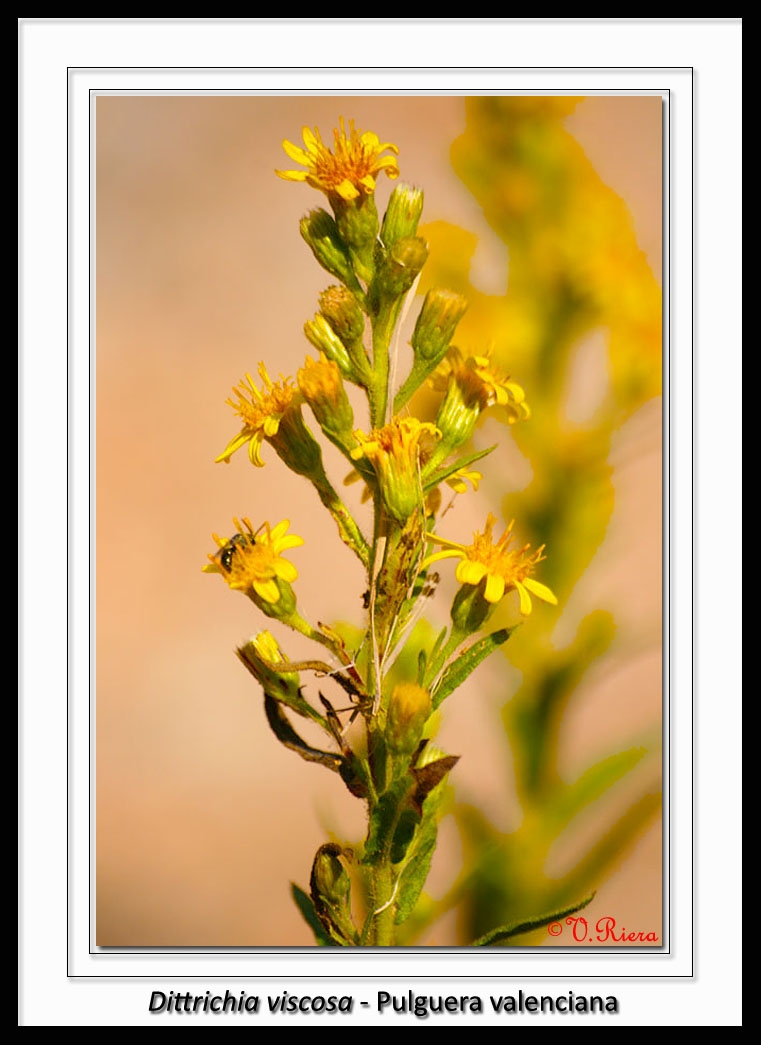 Asteraceae-Dittrichia_viscosa-Pulguera_valenciana