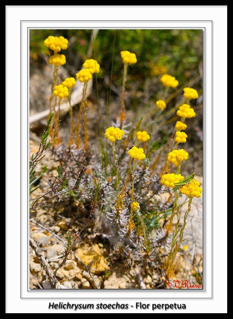 Asteraceae-Helichrysum_stoechas-Flor_perpetua