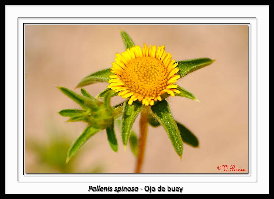 Asteraceae-Pallenis_spinosa-Ojo_de_buey