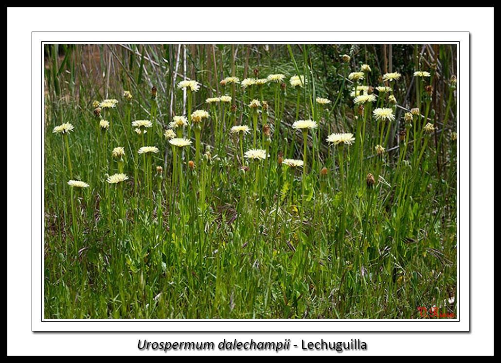 Asteraceae-Urospermum_dalechampii-Lechuguilla