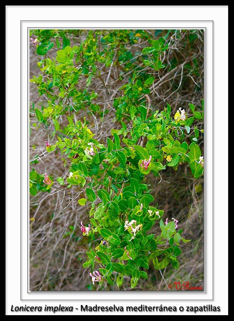 Caprifoliaceae-Lonicera_implexa-Madreselva_mediterránea