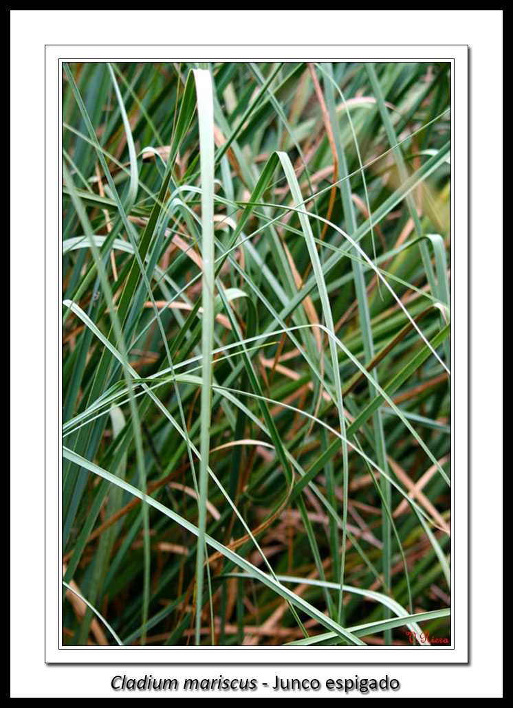 Ciperaceae-Cladium_mariscus-Junco_espigado