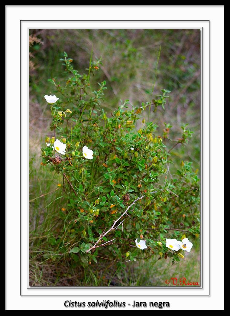 Cistaceae-Cistus_salviifolius-Jara_negra