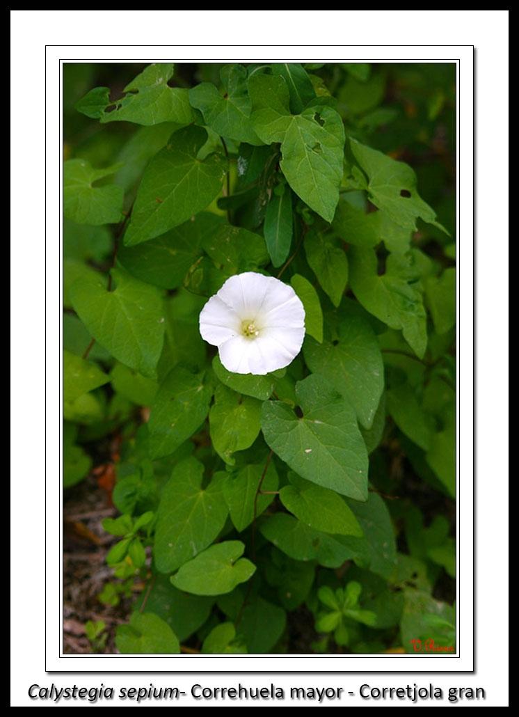 Convolvulaceae-Calystegia_sepium-Correhuela_mayor-Corretjola_gran