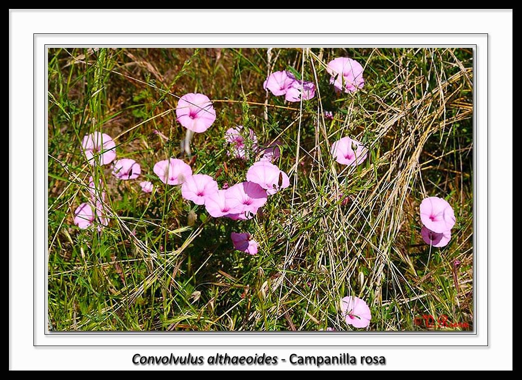 Convolvulaceae-Convolvulus_althaeoides-Campanilla_rosa