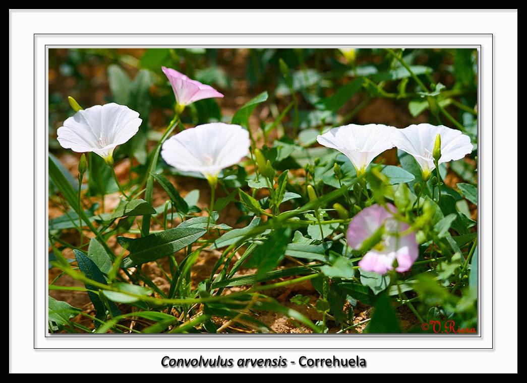 Convolvulaceae-Convolvulus_arvensis-Correhuela