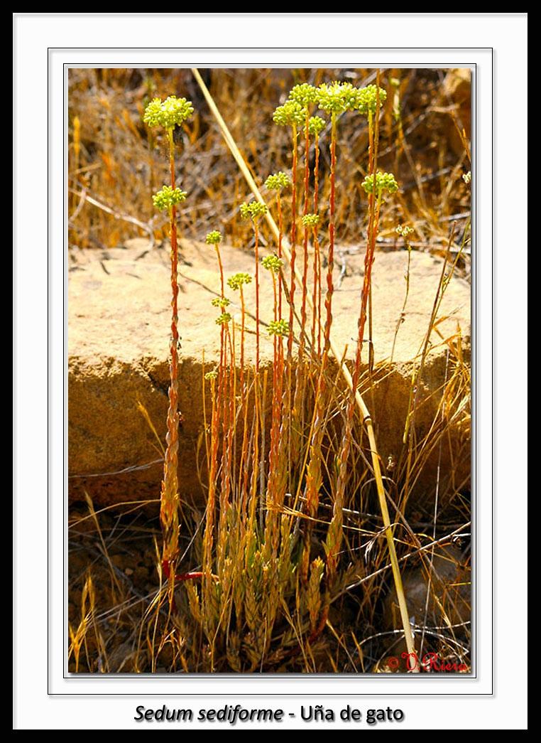 Crassulaceae-Sedum_sediforme-Uña_de_gato-