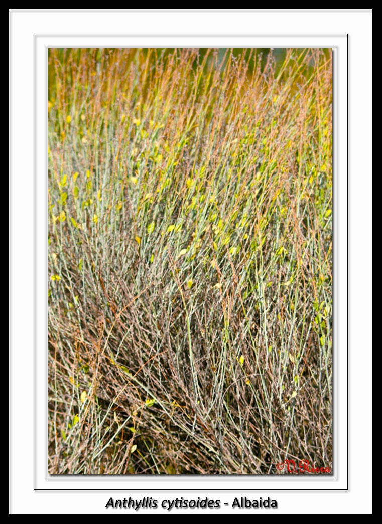 Fabaceae-Anthyllis_cytisoides-Albaida-
