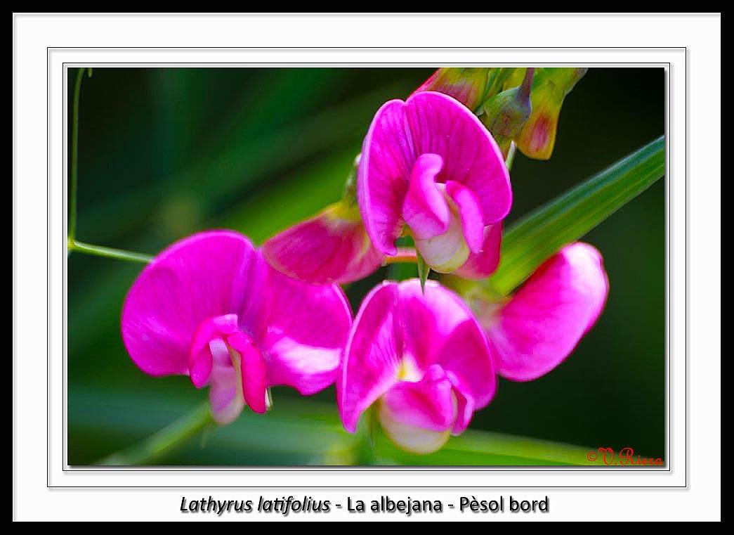 Fabaceae-Lathyrus_latifolius-La_albejana-Pesol_bord-