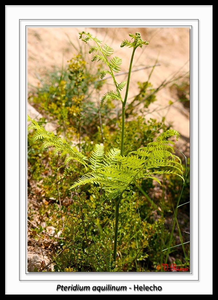 Hypolepydaceae-Pteridium_aquilinum-Helecho-