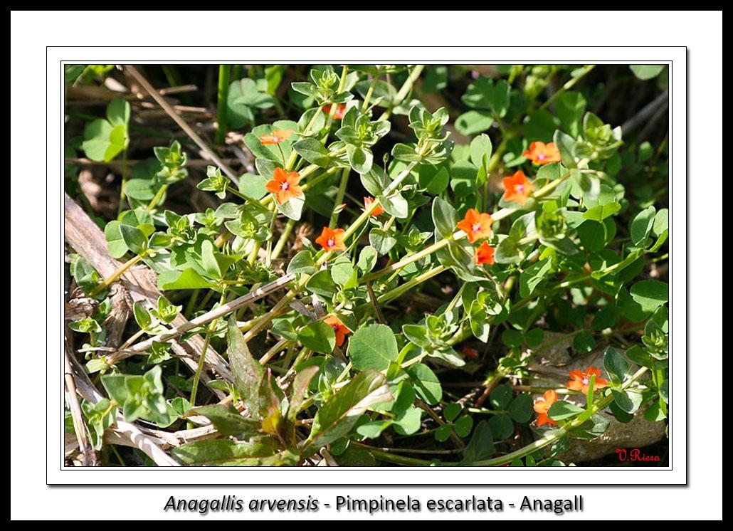 Myrsinaceae-Anagallis_arvensis-Pimpinela_escarlata-Anagall-