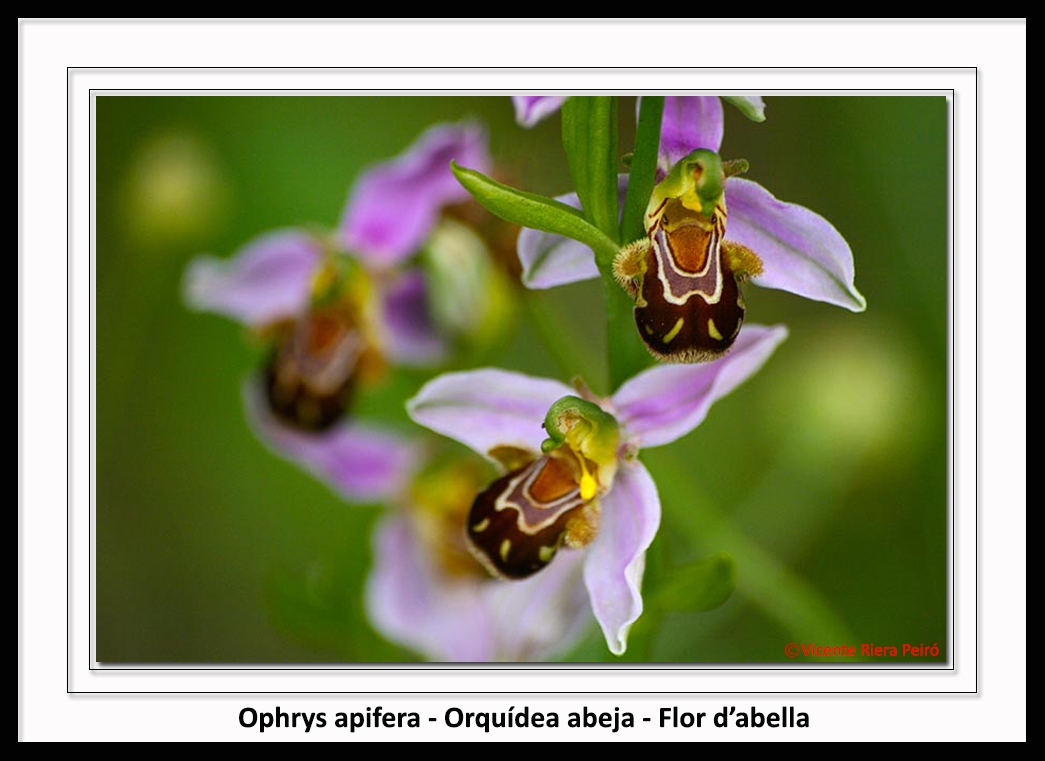 Orchidaceae-Ophrys_apifera-Orquidea_abeja-Flor_dabella-