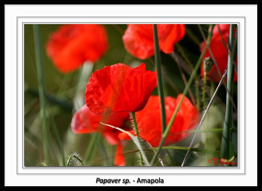 Papaveraceae-Papaver_sp-Amapola-