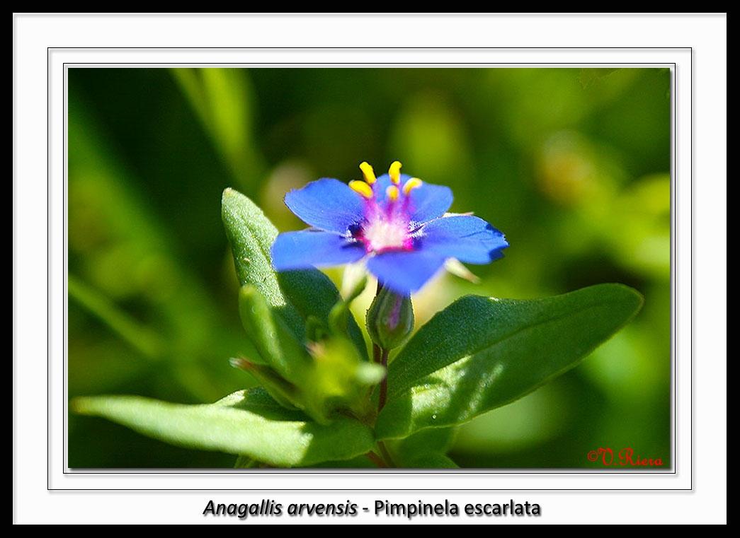 Primulaceae-Anagallis_arvensis-Pimpinela_escarlata-