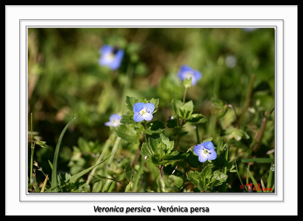 Scrophulariaceae-Veronica_persica-Verónica_persa-